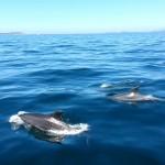 Avistamiento de delfines en la Ría de Arosa